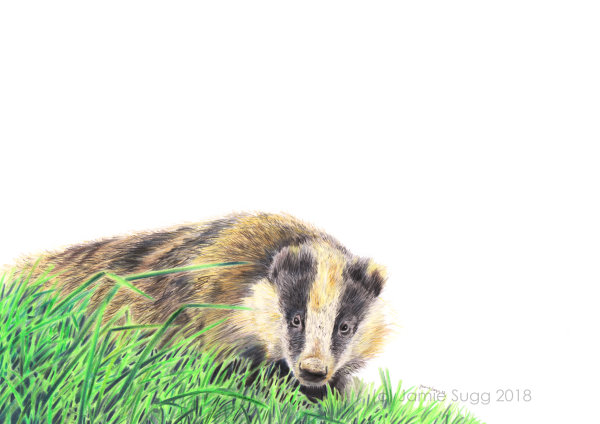 Badger, coloured pencils on paper, A4 SOLD