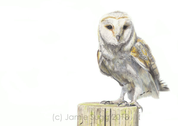Barn Owl, coloured pencils on paper, A4 SOLD