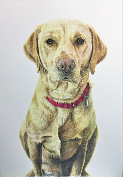 Dog pet portrait, coloured pencils on paper, 16in x 12in