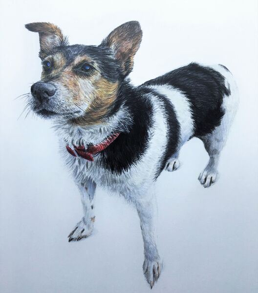 Gerrard the Jack Russell, coloured pencils, A4 size