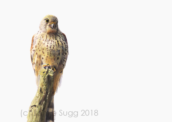 Kestrel, coloured pencils on paper, A4, SOLD