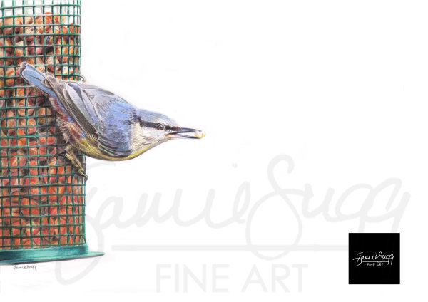 Nuthatch, coloured pencil drawing