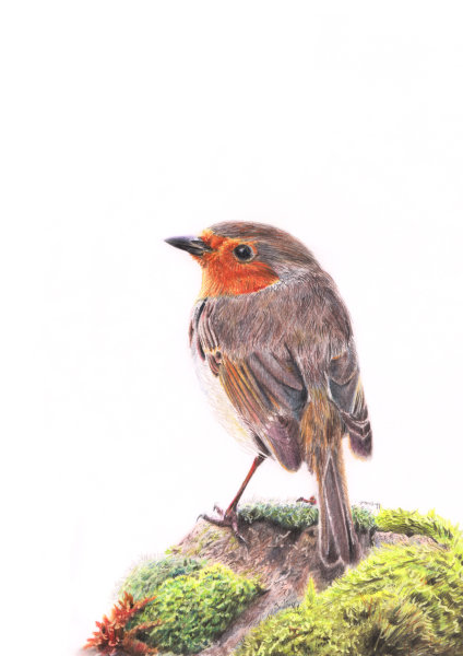 Robin, coloured pencils on paper, SOLD