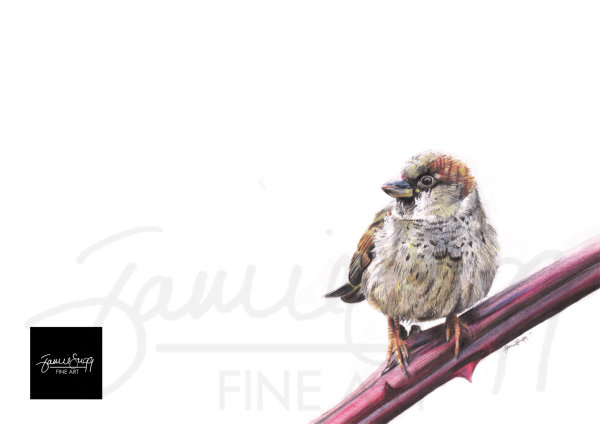 Sparrow, coloured pencils on paper, SOLD