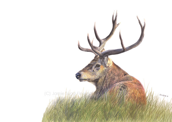 Resting Stag, coloured pencils on paper, A4 SOLD