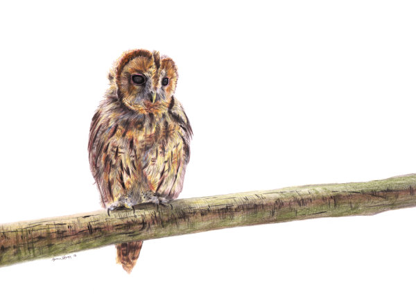 Tawny Owl, coloured pencils on paper, A4 SOLD