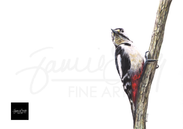 Woodpecker, coloured pencils on paper, SOLD