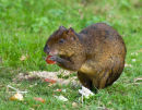 Central American Agouti Eating