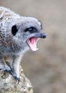 An angry Meerkat
