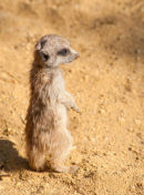"Baby Meerkat 4"" in height"