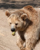 Brown Bear eating a pear