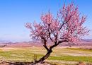 Almond Tree Spain