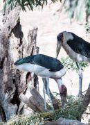 Two Marbou Storks making a nest