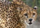 Cheetah Looking at Camera