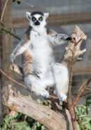 Ring Tailed Lemur Sunbathing