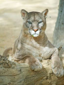 Puma (mountain Lion)