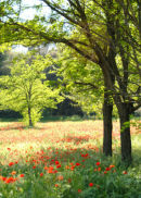 Poppies near Avignon France