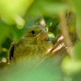 Greenfinch Chick in the nest