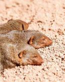 Dwark Mongoose Sleeping