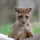 Close up of a Fossa