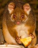 Wild Possum, Australia