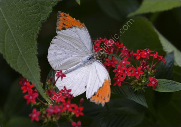 Butterfly_Orange_Tip_2234