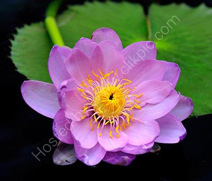 Nymphaea Marliacea Rosea 3182