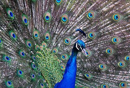Peacock 154304