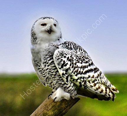 Snowey Owl 1322