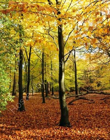 Golden Trees