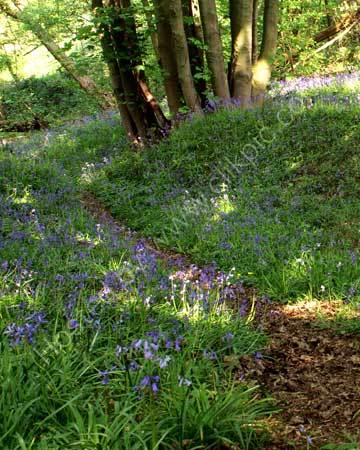 Walk in the Bluebell Wood