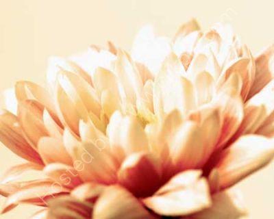 Petals in Sepia