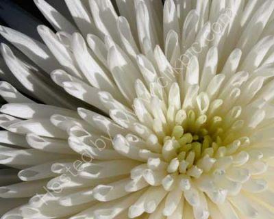 Inner Chrysanthemum