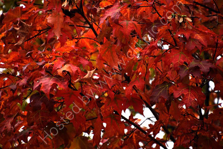 Maple in Full 'Fall' Colours