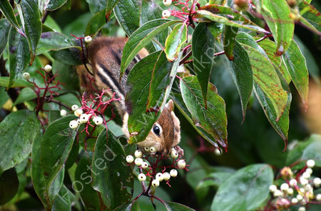 Chipmunk filling its cheeks with berries