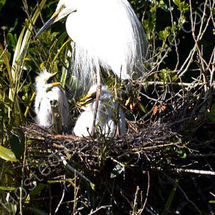 Great White Heron on Nest