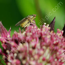 Fly on Astrantia