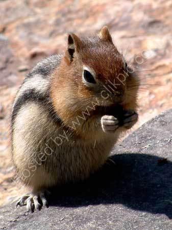 Canadian Ground Squirrel