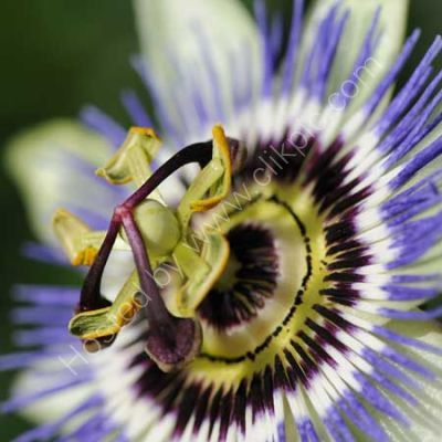 Passion Flower 1