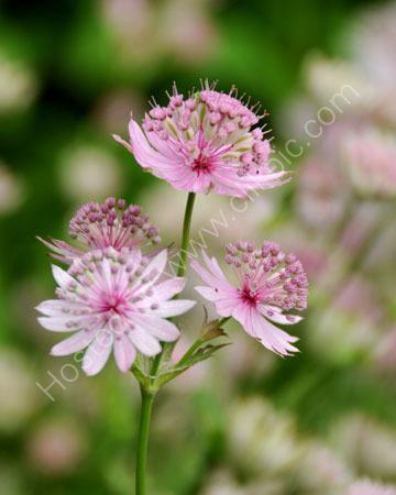 Pink Asrantia