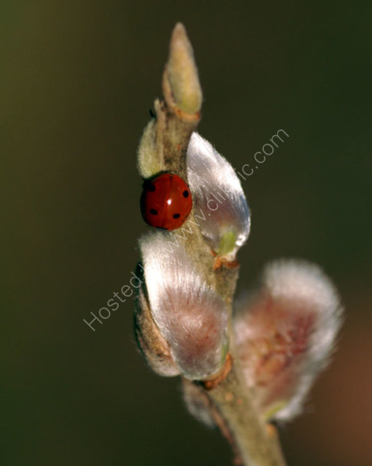 Lafybird on Pussywillow