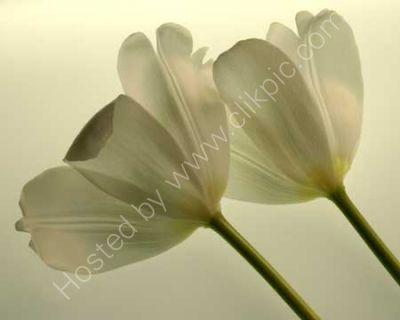 Transparent Tulips (Sepia)