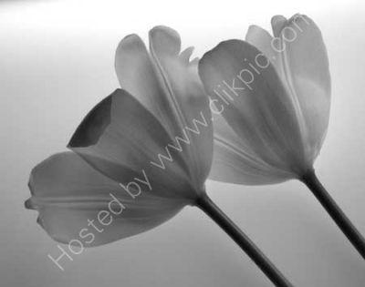 Transparent Tulips