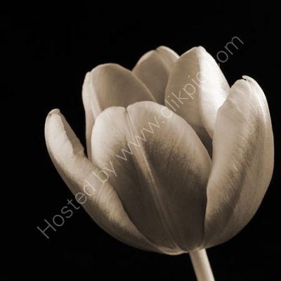 Tulip, Sepia