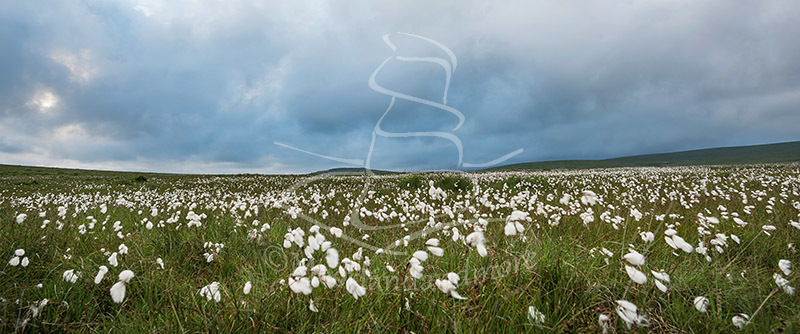 Dancing cotton grass