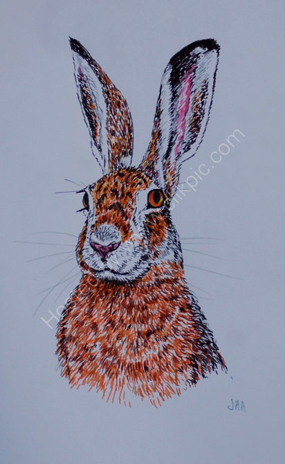 hare sketch SOLD