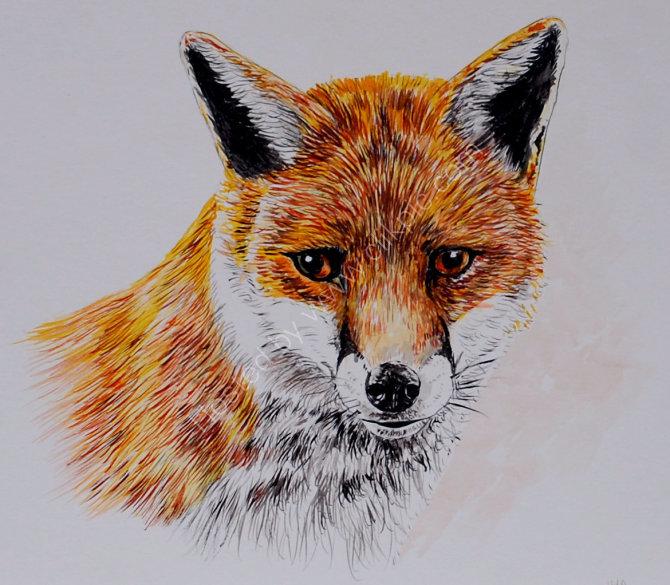 Fox SOLD