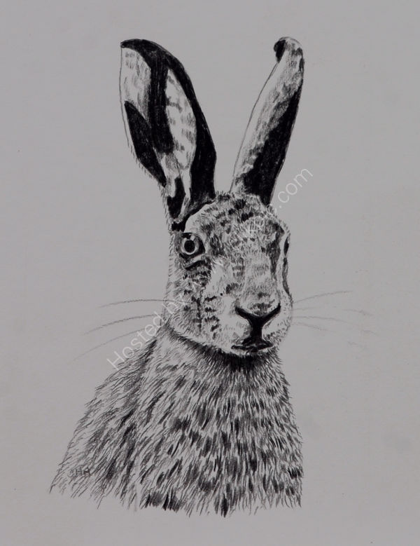 brown hare sketch