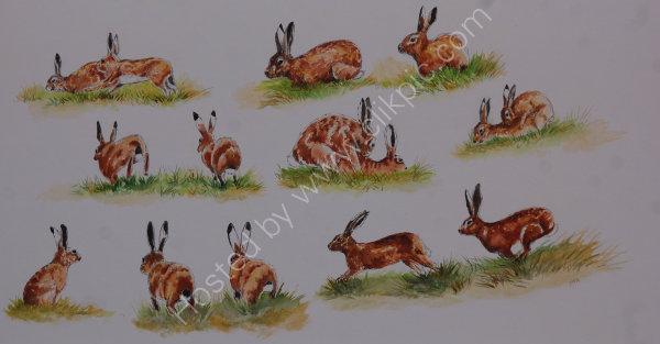 hare courtship