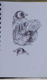goldfinch sketch